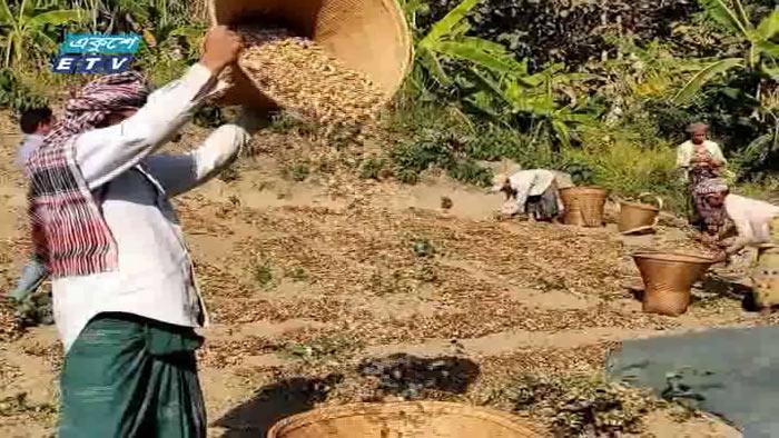 অল্প সময় ও স্বল্প পুঁজিতে বান্দরবানের বাদামের চাষ (ভিডিও)